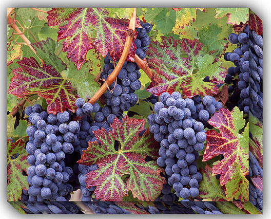 Outdoor Canvas Art Grapes 30 X 40 Inches Outdoor